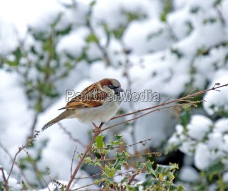 house sparrow in snow