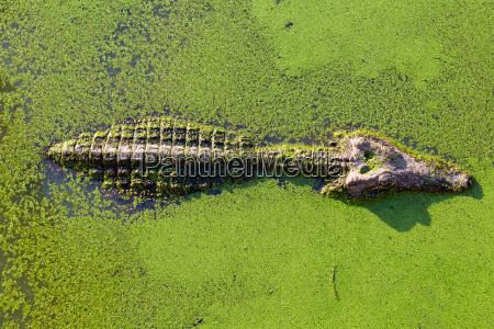 young alligator in thailand wetland pond