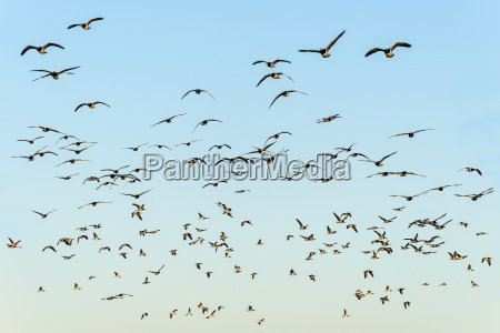 flock of black headed gulls