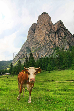 mountains dolomites alp rock cow high