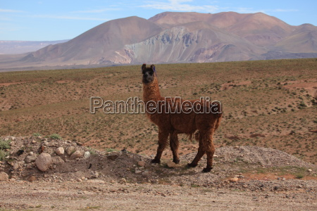 llamas in the andean highlands