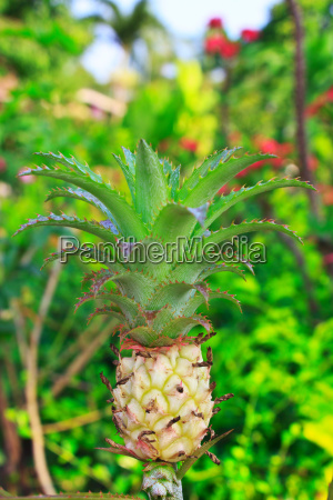 a young pineapple in the farm
