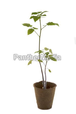 tomato plant in a pot