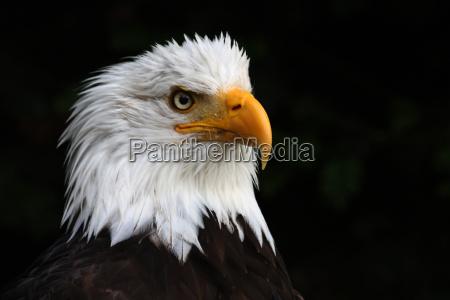 bird animals birds eyes raptor feathers
