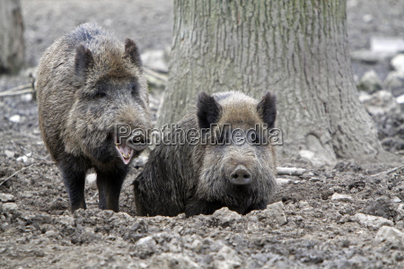 wild boars in the mud