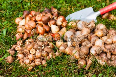 bulbs in the garden