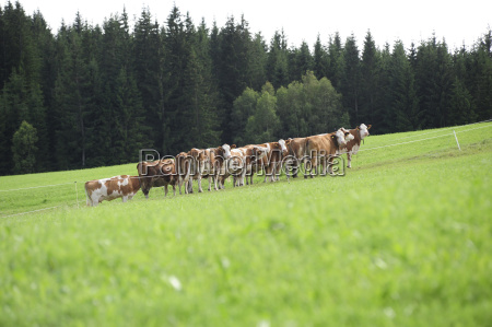 herd alpine farming alm pasture cow