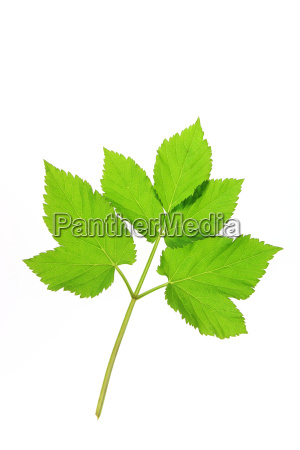 giersch aegopodium podagraria