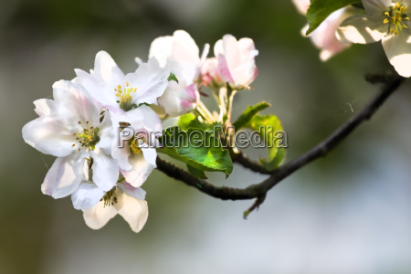 sunshine on appleblossom in spring