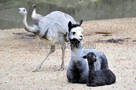 alpaca tierbaby pauli