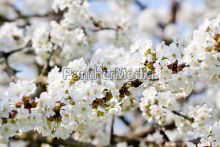 white cherry blossoms on a tree