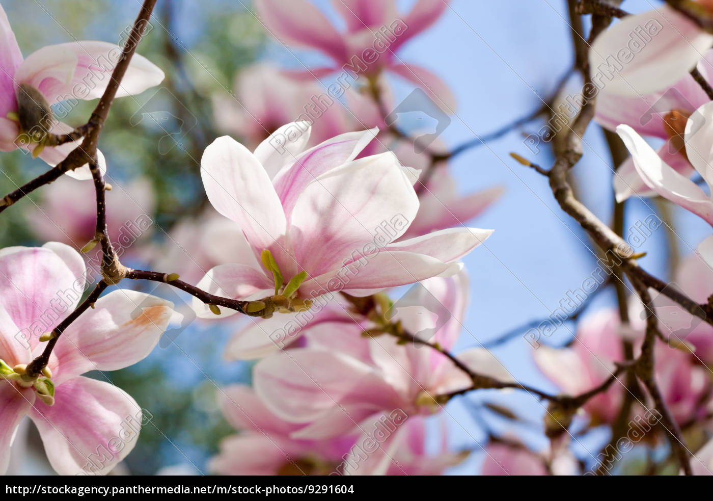 Magnolia Tree With Pink Flowers In Spring With Blue Royalty Free