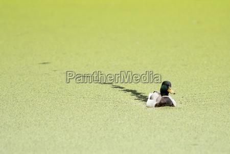 between the duckweed between the