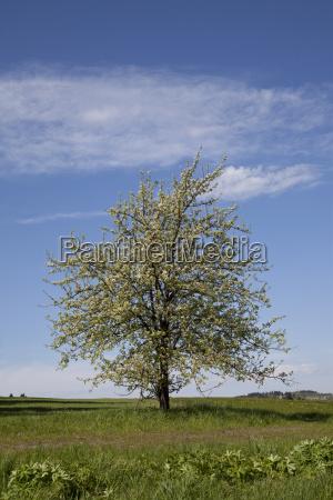 tree dandelion cherry blossom cherries cherry