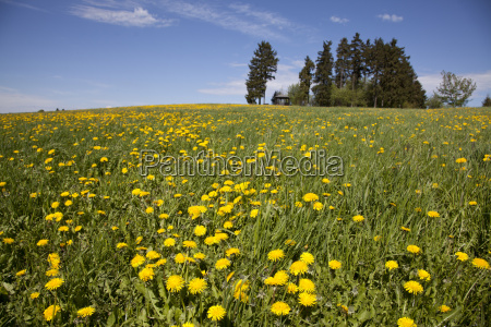 meadow with dandelions and viewpoint at