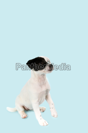 parson russell terrier puppy