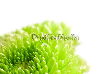 macro shot chrysanthemum