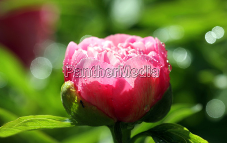 peony in the back light
