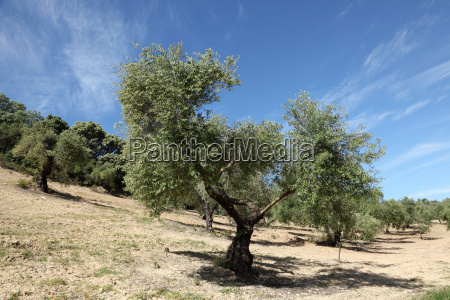 olive trees plantation in andalusia spain