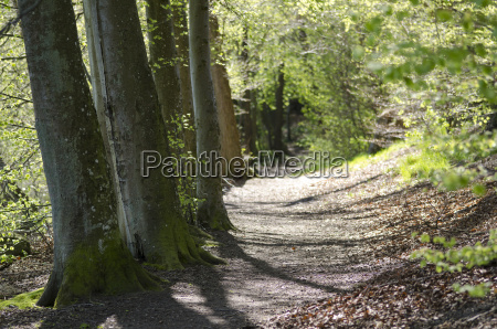 path in beech forest in spring