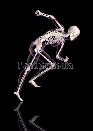 medical female skeleton in running pose