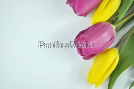 colorful tulips for you
