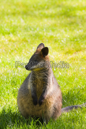 swamp or black wallaby