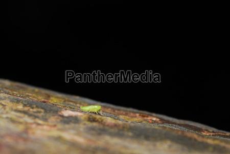 aphid on black