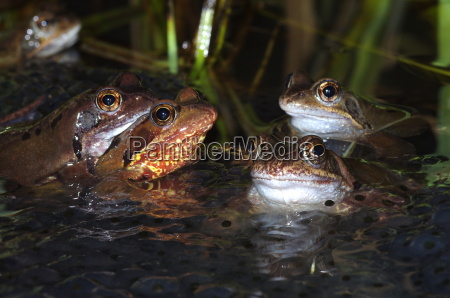 frog mating leichhardt waid
