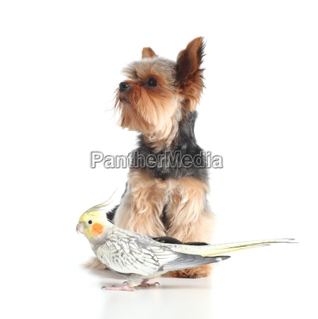 pets yorkshire terrier dog and cockatiel