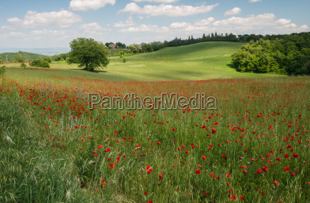 field of brightly colored poppy flowers