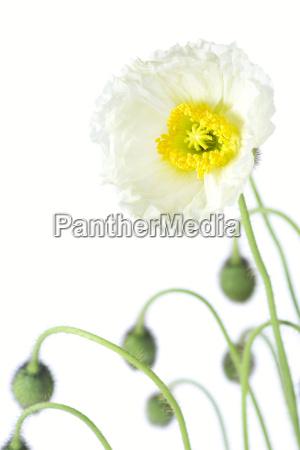 iceland poppy papaver nudicaule