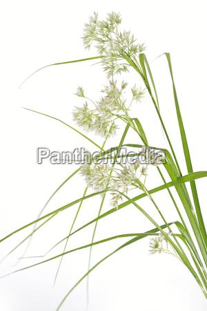 woodrush luzula nivea on white background