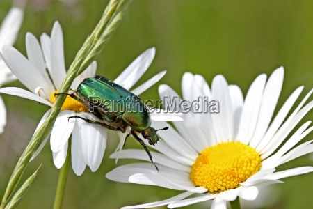 rosary beetles on marguerite blossoms