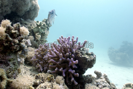 coral reef with lilac hood coral