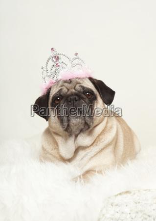 are pug portrait crown