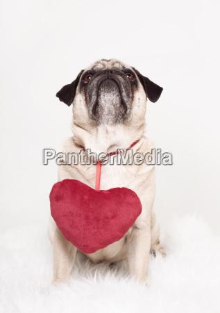 pug heart valentines card