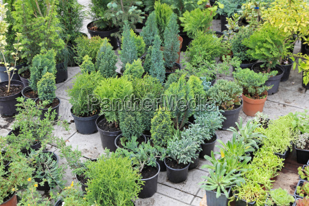 evergreen plants