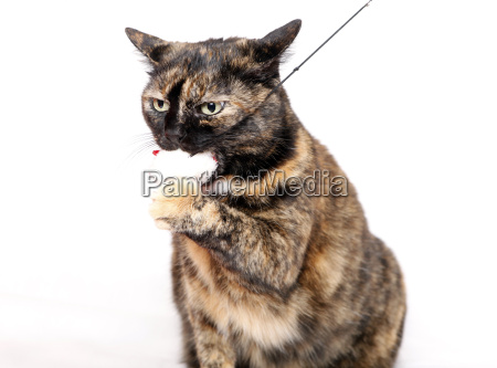 striped cat with toy in mouth
