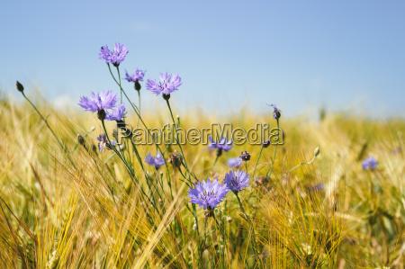 blue cornflowers in the wheat field