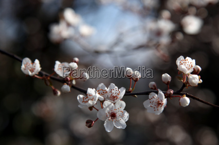 branch cross cherry blossom spring messenger