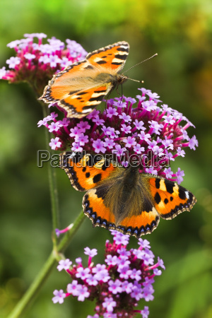 small tortoiseshell or aglais urticae on