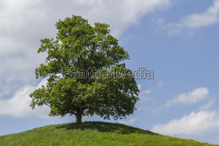 deciduous tree on meadow hill