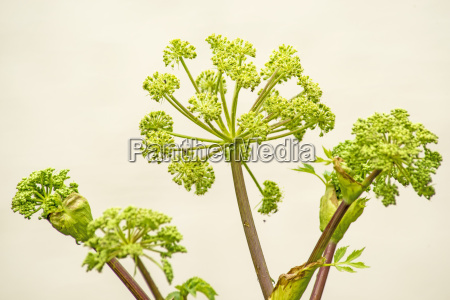 angelica old monastery medicinal plant