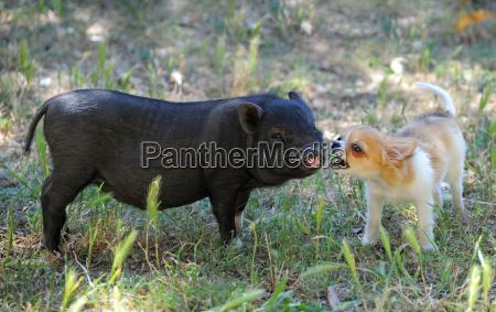 liitle piggy and chihuahua