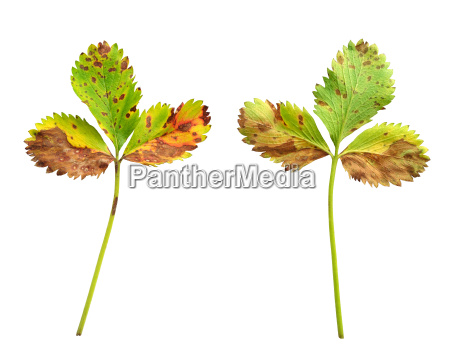 strawberry leaf with the fungal disease