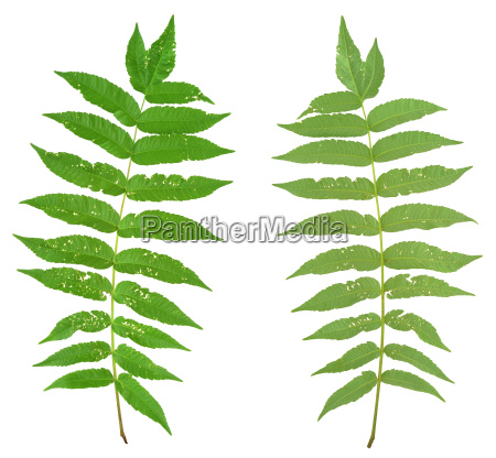 leaf of sumac tree attacked by