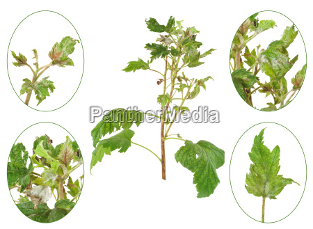 infection of black currant by grey
