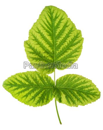 iron deficiency in raspberry leaf chlorosis