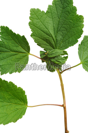 diseased red currant leaves attacked by
